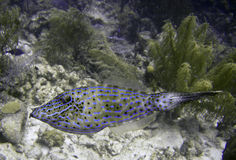 Scrawled filefish on a reeef Stock Images