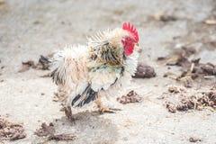 Scrawny little chicken Royalty Free Stock Image