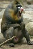 Scream. Bronx zoo Royalty Free Stock Photos
