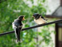 Scream. Two swallows on telephone cable Royalty Free Stock Image