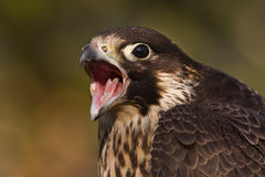 Scream falcon Royalty Free Stock Photo