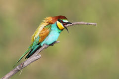 Scream. One bee eater sits on a branch. The identifications signs of the bird and the structure of the feathers are clearly visible Royalty Free Stock Photo