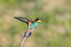 Scream. One bee eater sits on a branch. The identifications signs of the bird and the structure of the feathers are clearly visible Royalty Free Stock Images