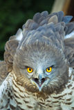 Scream. A screaming eagle close up Stock Images