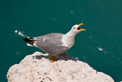 Scream of seagull. close up Royalty Free Stock Photos