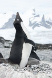 Screaming Adelie Penguin in the nest. Stock Photo