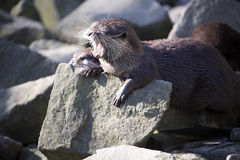 Screaming Asian Oriental small-clawed otter, Amblonyx cinerea Stock Photography