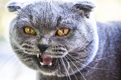Screaming attractive face Scottish fold cat close Stock Image