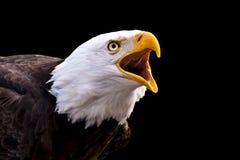 Screaming Bald Eagle. Portrait of a screaming Bald Eagle (Haliaeetus leucocephalus Royalty Free Stock Photos