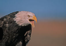 Screaming bald eagle. Bald eagle vocalizing to express rage Royalty Free Stock Images