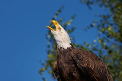 Screaming Bald Eagle Stock Photo