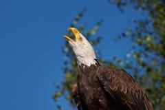 Screaming Bald Eagle Stock Photo