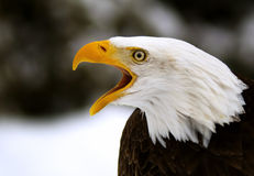 A Screaming Bald Eagle Stock Photography