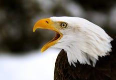 A Screaming Bald Eagle. (Haliaeetus leucocephalus Stock Photography