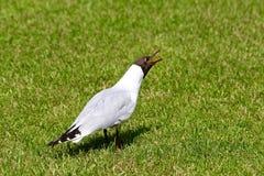 Screaming black-headed gull Royalty Free Stock Image