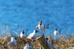 Screaming Black-headed gull Royalty Free Stock Images