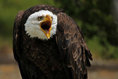 Screaming Eagle. Closeup of a Bald Eagle screaming at the camera Stock Images