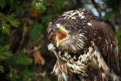 Screaming Eagle royalty free stock photos