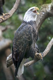 Screaming Eagle on Branch Stock Photo