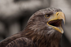 Screaming eagle Stock Photography