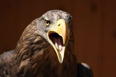 Screaming eagle, Sea eagle (Haliaeetus albicilla) Royalty Free Stock Image