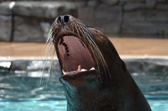 Screaming fur seal Stock Image