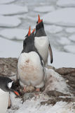 Screaming Gentoo penguins. Stock Photography