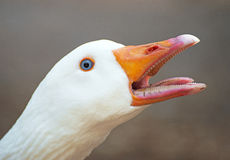 Screaming goose. stock images