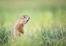 Screaming gopher Royalty Free Stock Images