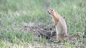 Screaming gopher stock footage