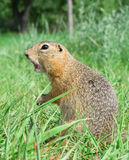 Screaming gopher standing profile on the meadow Royalty Free Stock Photos