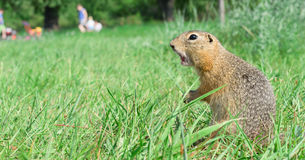 Screaming gopher standing profile on meadow, some people on background Royalty Free Stock Image