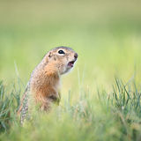 Screaming gopher Stock Photography