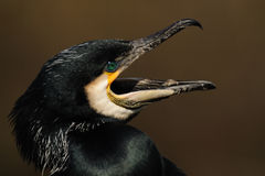 Screaming Great Cormorant royalty free stock photography