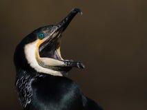 Screaming Great Cormorant stock photography
