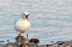 Screaming Gull. A Black-headed Gull screaming with mouth wide open stock images