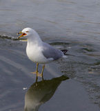 Screaming gull Stock Photo