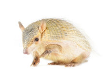 Screaming Hairy Armadillo Stock Photos