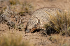 Screaming Hairy Armadillo Royalty Free Stock Photo