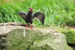 Screaming inca tern. On the rock Royalty Free Stock Image