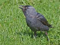 Screaming jackdaw Stock Image