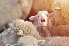 Screaming lamb in a flock of sheep grazing on beautiful mountain. Meadow Royalty Free Stock Image