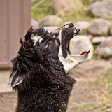 The screaming Llama Royalty Free Stock Photography