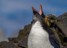 Screaming macaroni penguin calls for mate. In South Georgia Royalty Free Stock Photo