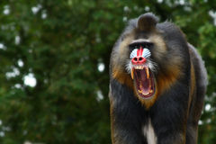 Screaming Mandrill Stock Photography