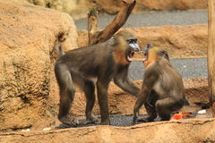 Screaming mandrills Royalty Free Stock Images