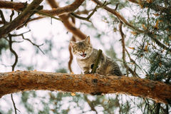 Screaming Meowing Adult Cat On A Pine Tree Branch Spring Season. Screaming Meowing Adult Cat On A Pine Tree Branch At Spring Season Stock Photo