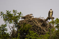 Screaming Osprey Family on Nest, Overcast Sky Stock Photography