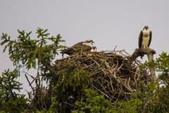 Screaming Osprey Family on Nest, Overcast Sky Stock Photography