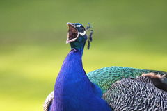 Screaming peacock Stock Photography